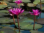 Magenta water lilies in bloom