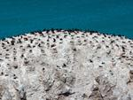 Hundreds of nesting cormorants on a rocky island