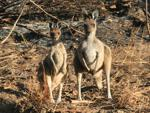 Cape Le Grand National Park kangaroos