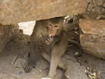 Monkey chilling under the shade of some stones