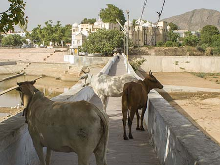 Cows on the foot bridge crossing the inlet