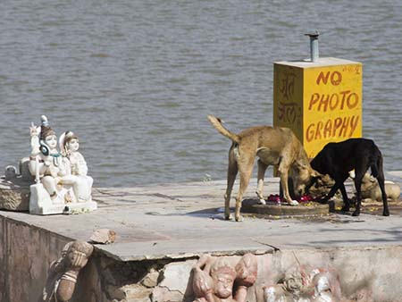 Stray dogs eating the offerings near a no photography sign