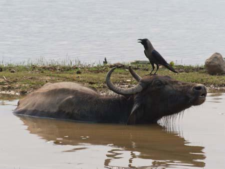 A crow perched on a water buffalo